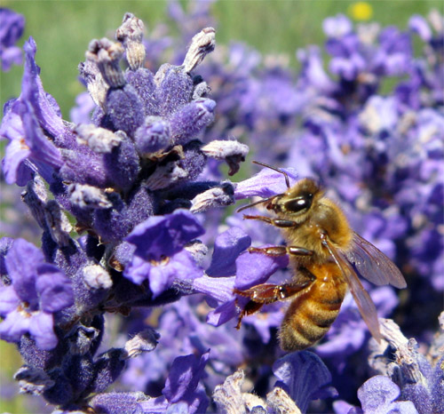 Honeybee on Folgate Lavender 2