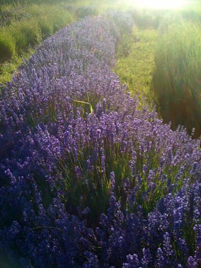 Graves Lavender Whidbey Island